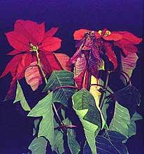 Greenhouse Amp Floriculture Diseases Of Poinsettias Umass