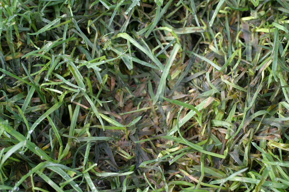 Relatively Turf: Pythium Diseases of Turf | UMass Center for Agriculture  WQ77