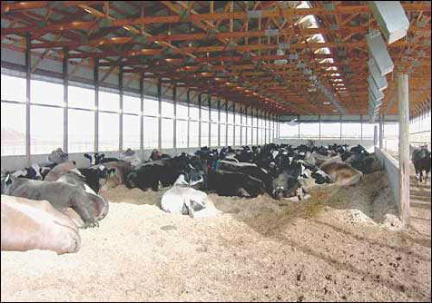Figure 8. Bedded-pack barns provide a comfortable resting place; however, consistent daily management is needed.