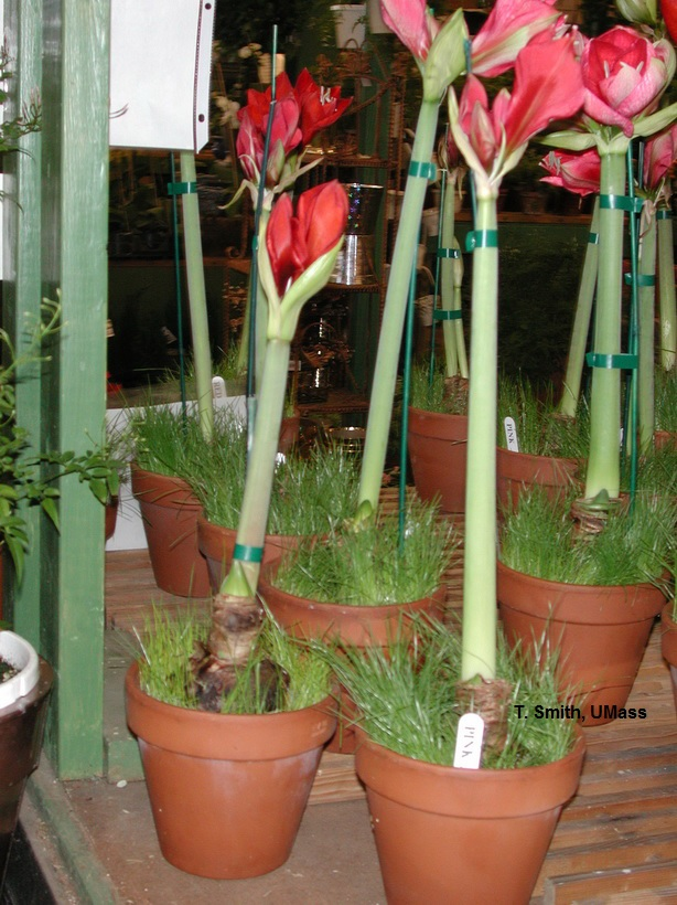 Home lawn garden holiday plant care fall and winter for Amaryllis bulbe conservation