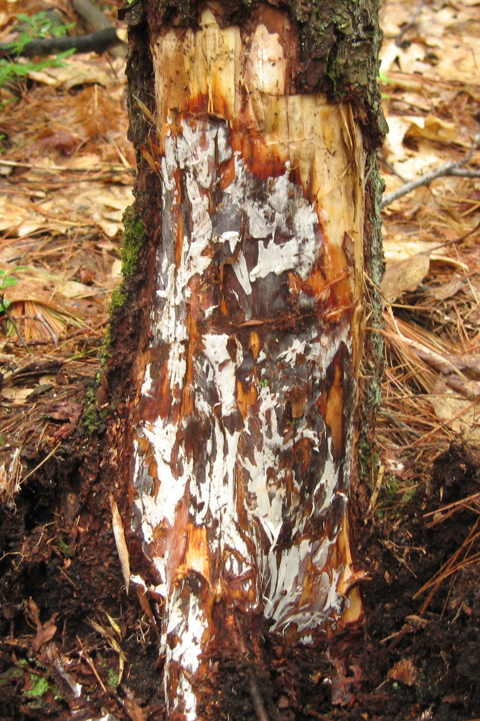 Landscape: Armillaria Root and Butt Rot | UMass Center for Agriculture,  Food and the Environment
