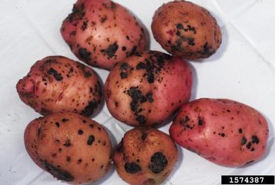 Vegetable: Potato, Identifying Diseases | UMass Center for