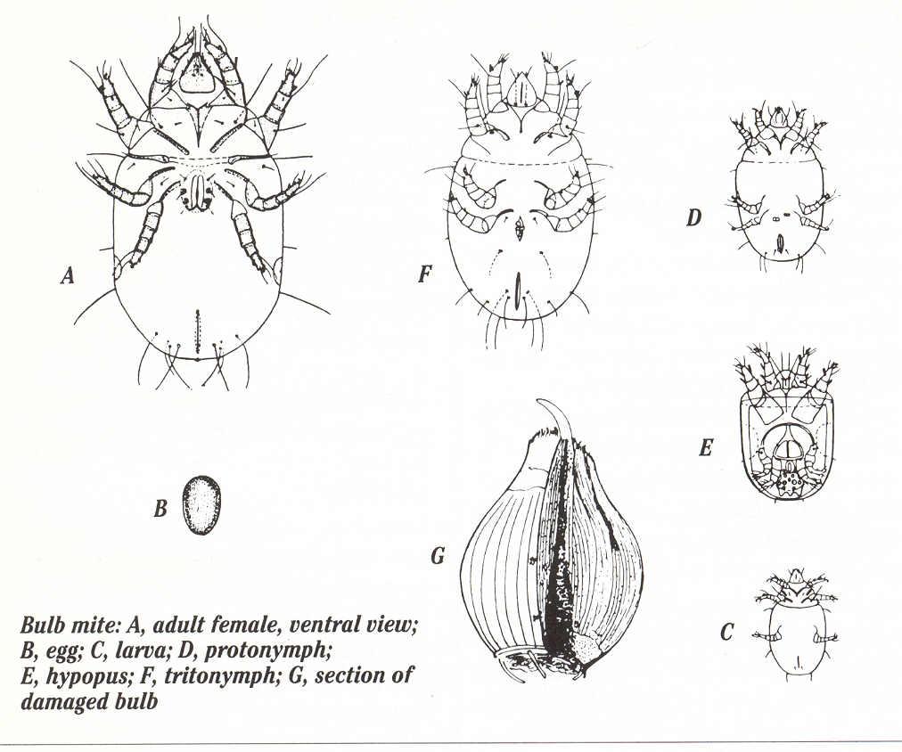 greenhouse  u0026 floriculture  bulb mites