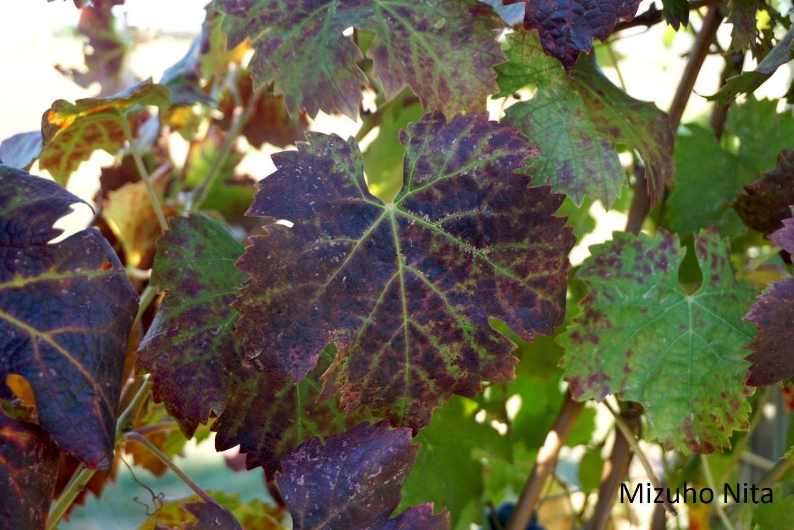 Fruit Grape Ipm Grapevine Leafroll Disease Umass Center For Agriculture Food And The Environment