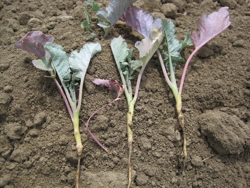 Vegetable: Cabbage Root Maggot | UMass Center for
