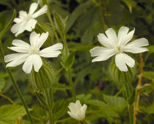 Campion, White | Center for Agriculture, Food and the Environment ...