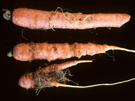 Vegetable: Carrots, Identifying Diseases | UMass Center for