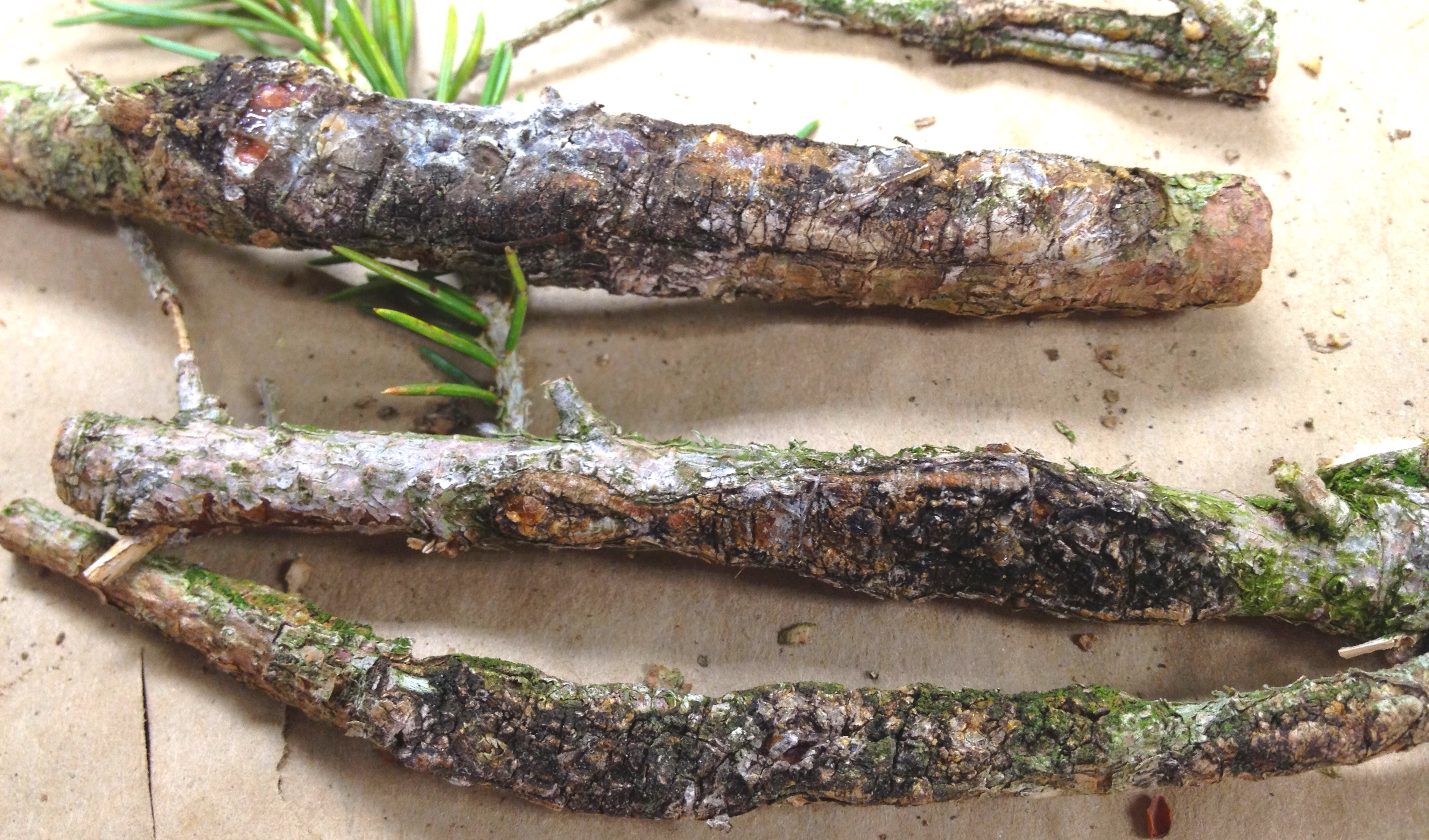 the issue of cytospora canker in fruit Leucostoma canker of stone fruits is mos t severe on cultivated crops in orchards and ornamental plantings it is a minor problem on prunus spec ies found in natural ecosystems.
