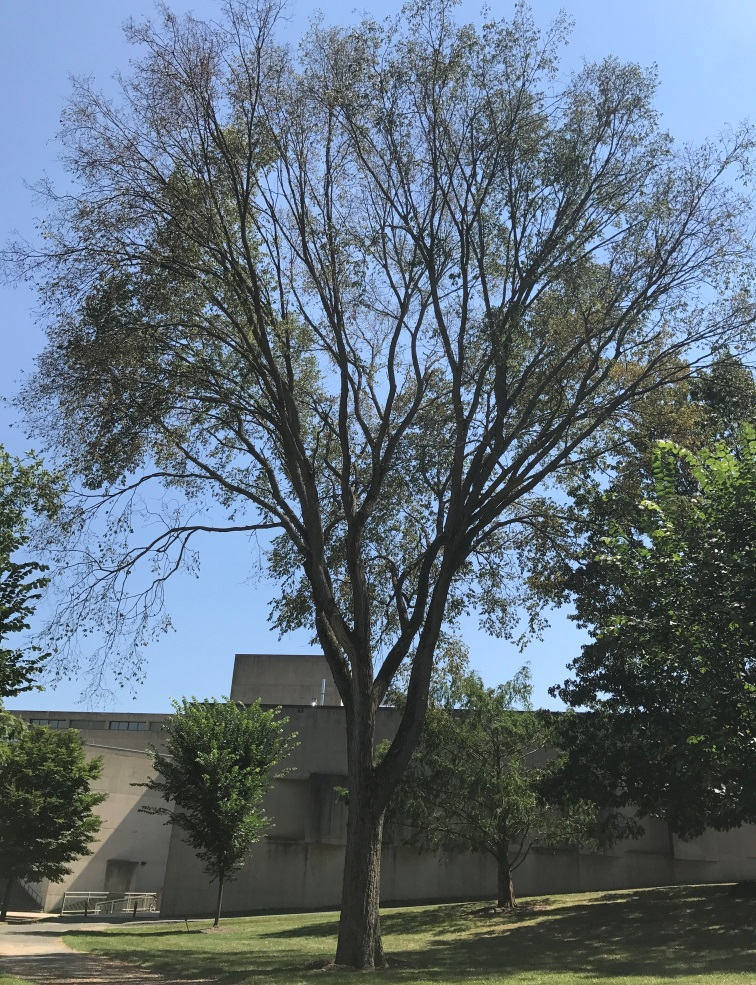 Center for agriculture food and the environment umass for American elm