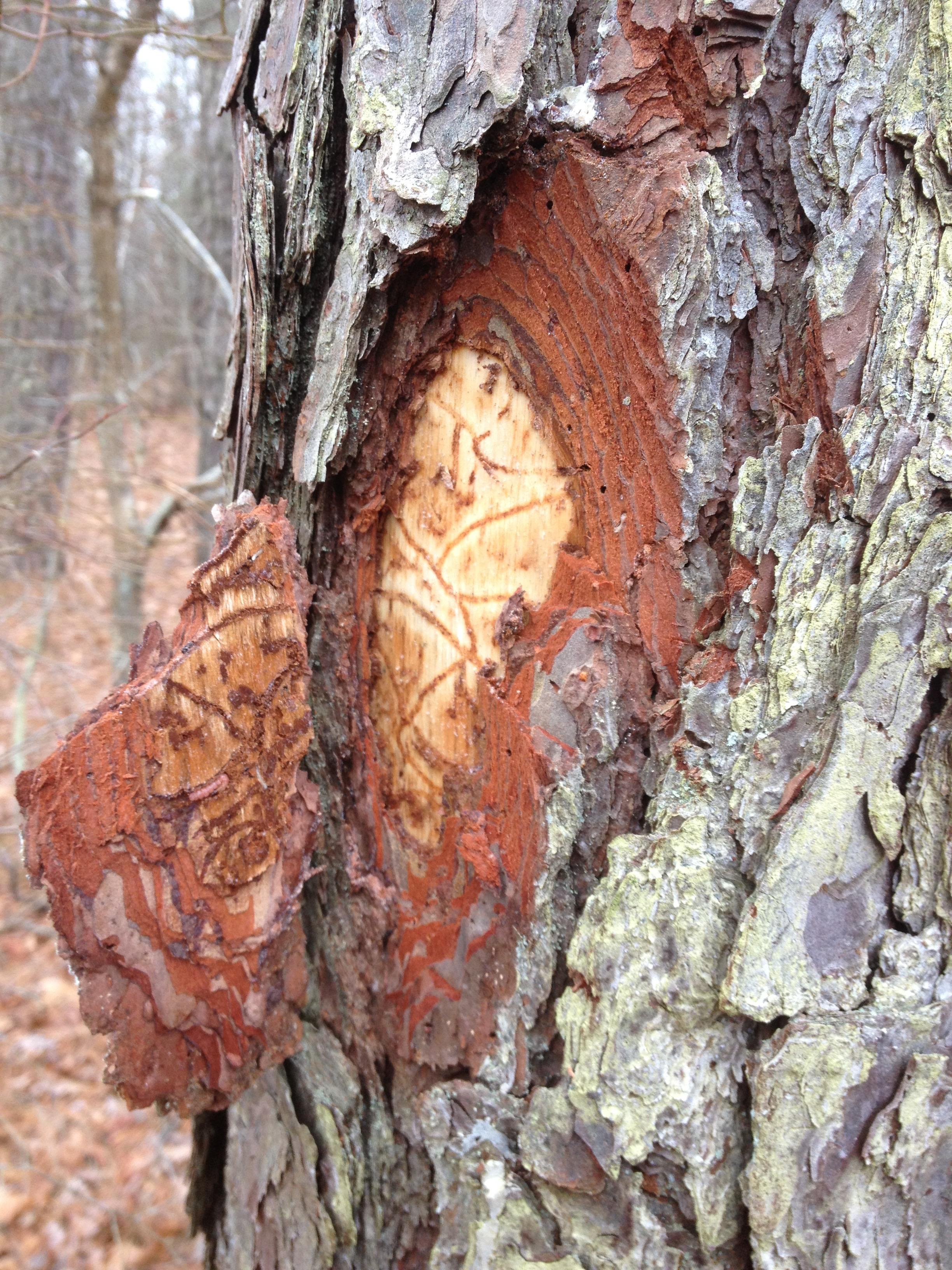 Landscape Southern Pine Beetle Umass Center For