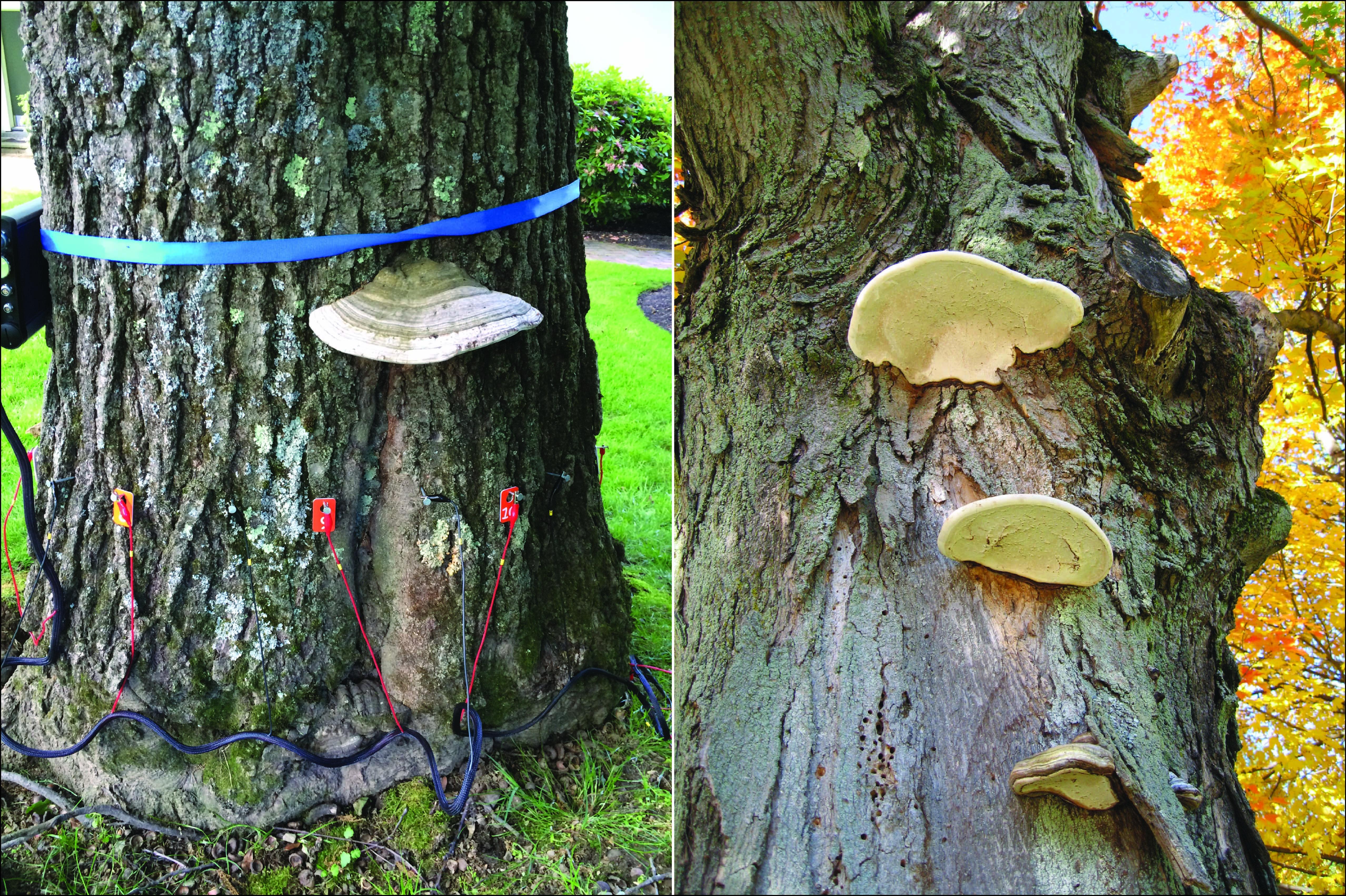 Landscape Root And Butt Rot Pathogens Of Oak Quercus Spp
