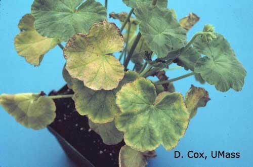 Greenhouse & Floriculture: Growing Geraniums | UMass Center