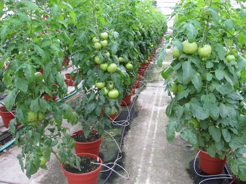 Greenhouse & Floriculture: Greenhouse and High Tunnel Tomatoes