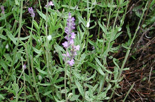 Greenhouse & Floriculture: Lavender Production in
