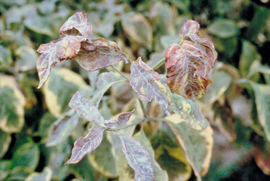 Landscape Powdery Mildew Umass Center For Agriculture