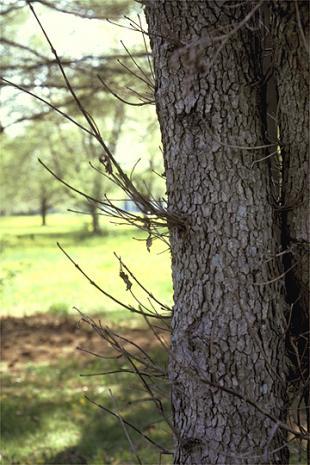 Landscape Dogwood Anthracnose Umass Center For