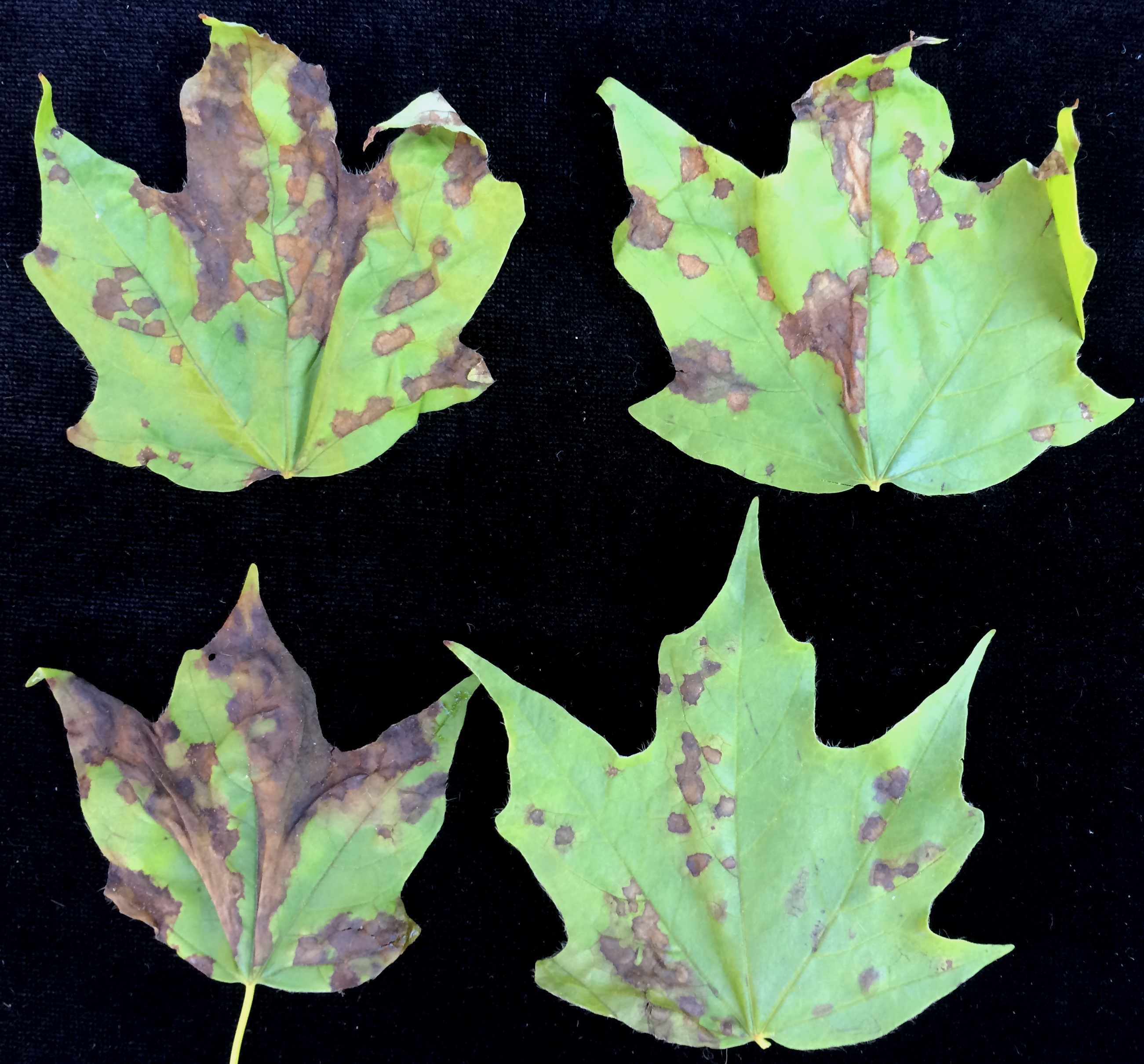 Anthracnose Of Maple Center For Agriculture Food And The - Norway maple vs sugar maple