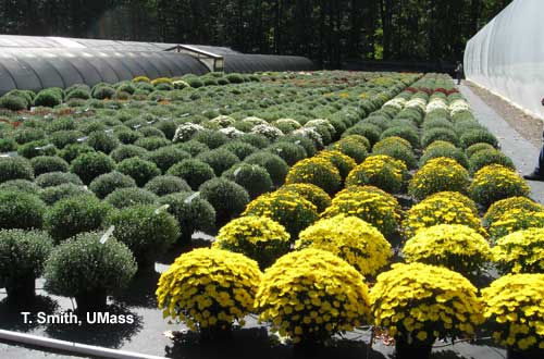 garden mums on drip irrigation - Garden Mum