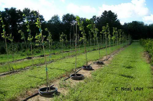 Oak Trees In Nursery As Part Of Research Project