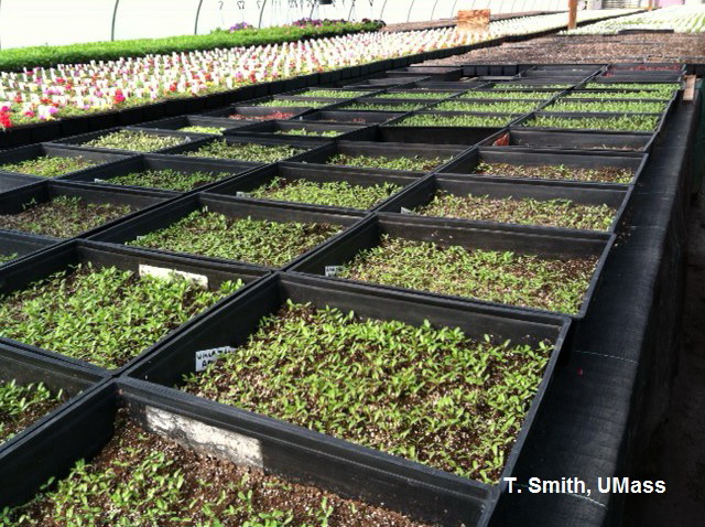 Seedling In Open Seed Flats