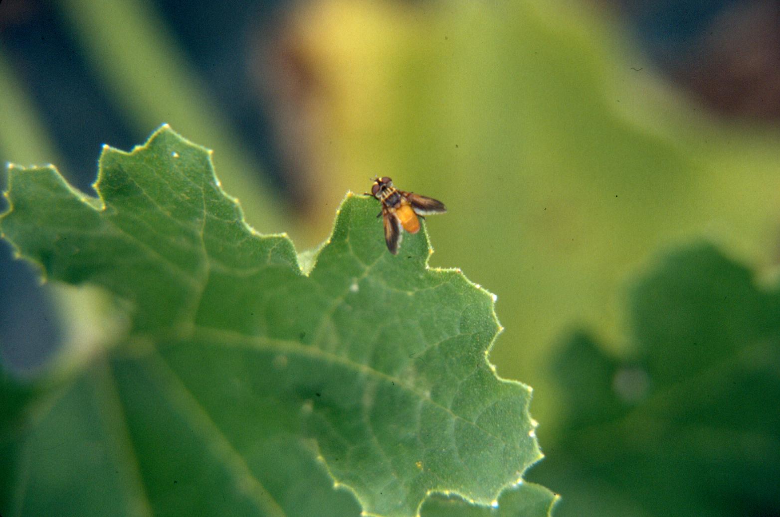 Vegetable: Squash Bug | UMass Center for Agriculture, Food