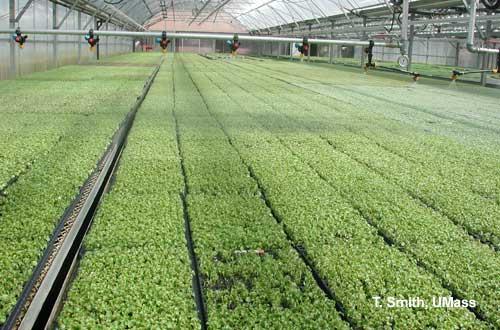 Greenhouse Amp Floriculture Fertilizing Bedding Plant