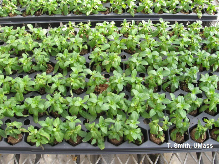 greenhouse floriculture transplanting plugs and grouping plants umass center for. Black Bedroom Furniture Sets. Home Design Ideas