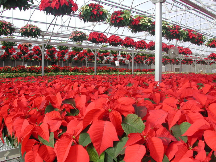 Greenhouse Floriculture Aztecs Ambassador Poinsett And Poinsettia Umass Center For Agriculture Food And The Environment