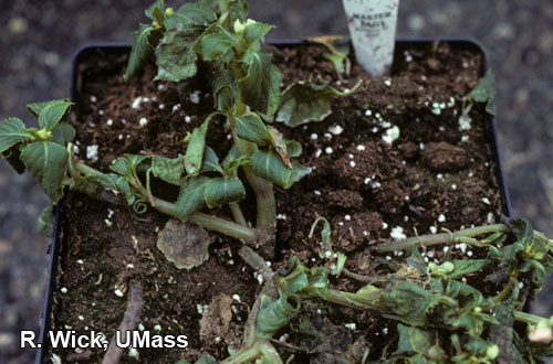Diagnosing Plant Diseases Of Floricultural Crops Pythium Root Rot Symptoms On Garden Impatiens
