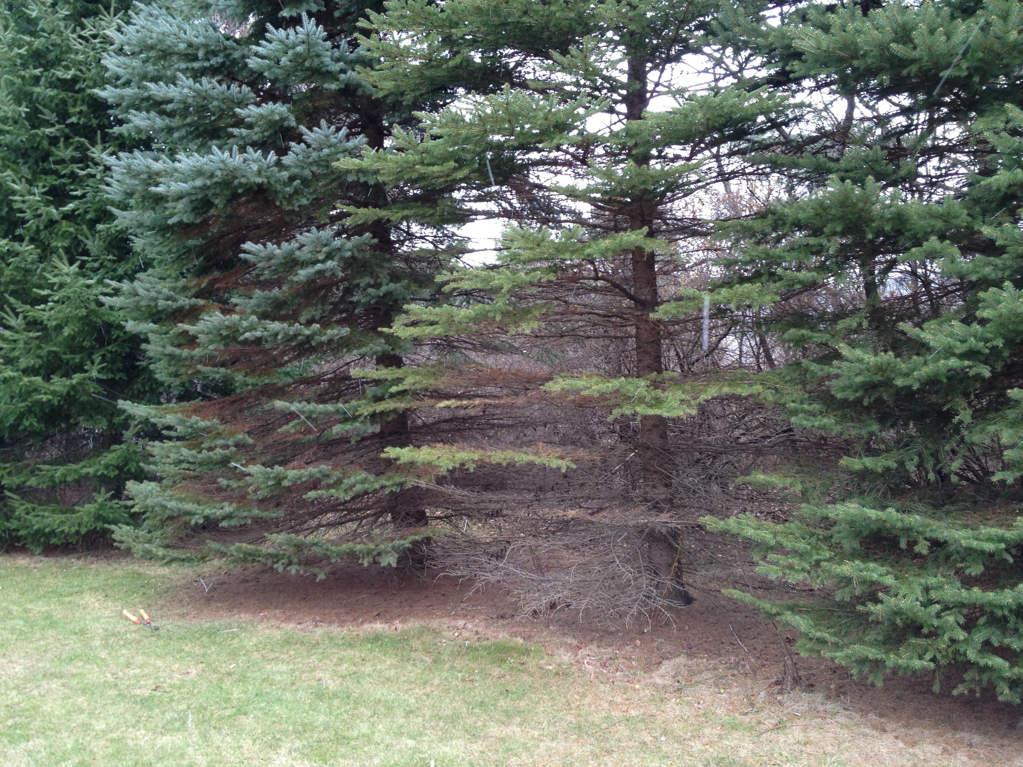 Landscape Rhizosphaera Needle Cast Umass Center For