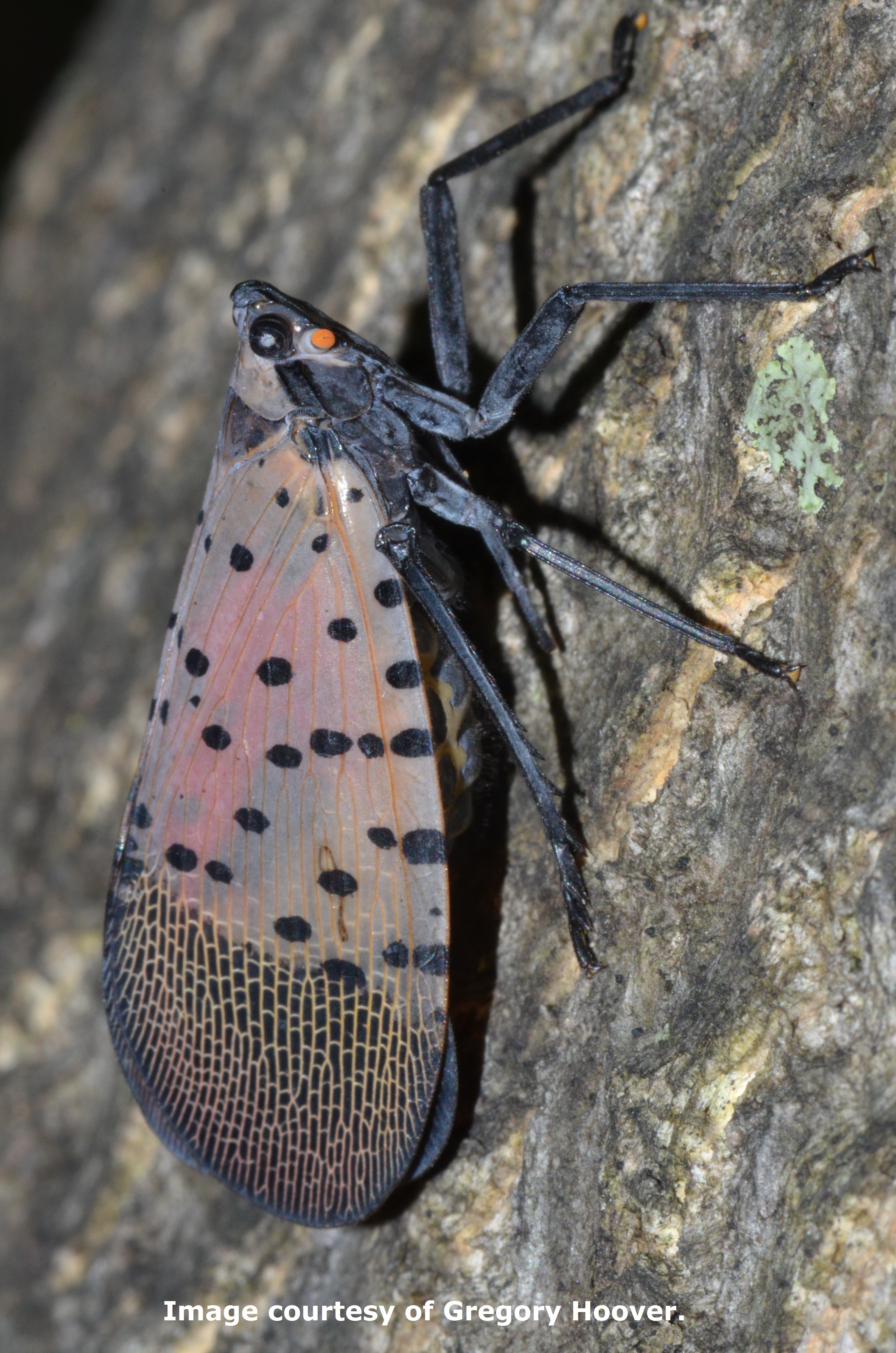 Spotted Lanternfly Center For Agriculture Food And The