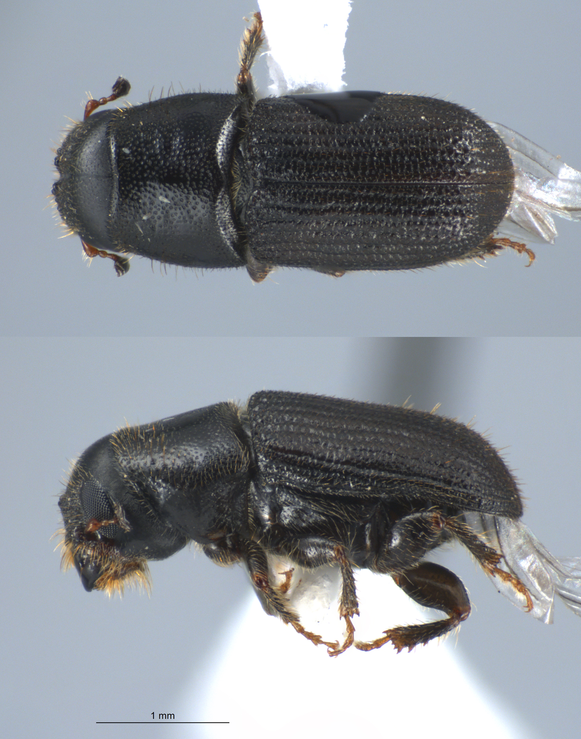 the southern pine beatle four stages Pine bark beetles are frequent pests of stressed pines, pinus spp, in the southern united states the five most common southern pine bark beetle species include three in the genus ips: the sixspined ips, ips calligraphus (germar) the eastern fivespined ips, ips grandicollis (eichhoff) and the.