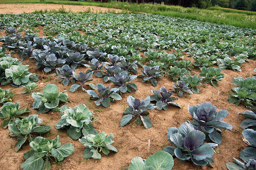 Vegetables Nutritional Value Studied At UMass Farm