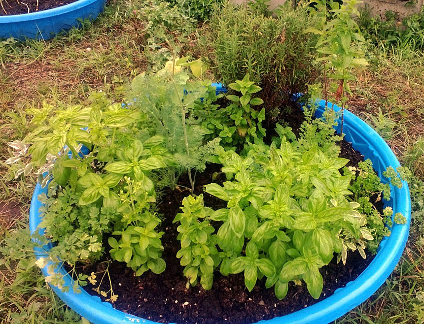 Agricultural Learning Center Kiddie Pool Filled With Herbs
