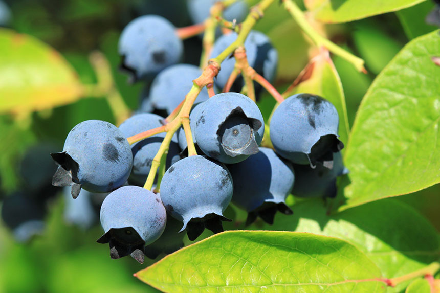 New England Small Fruit Management Guide 2015 2016