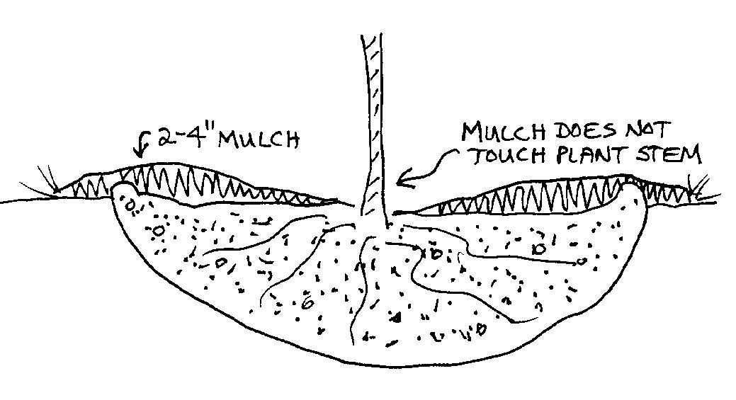 Mulch must not touch the trunk or base of the plant!