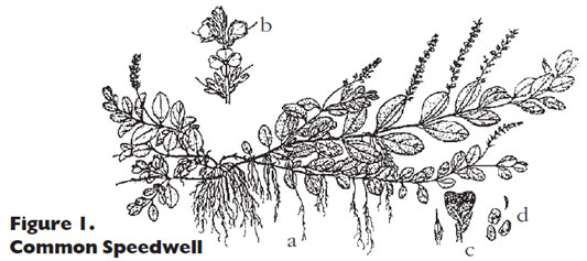Common speedwell line drawing
