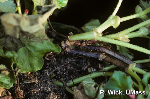 Black stem (Crown Rot) caused by Pythium