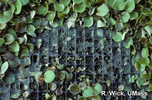 Damping off of Begonia seedlings caused by Rhizoctonia