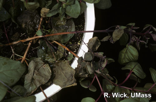 Stem canker on Fuchsia caused by Botrytis cinera