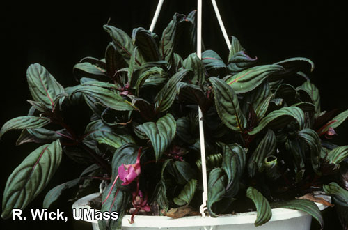 New Guinea Impatiens – Ethlene injury