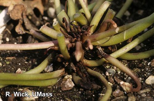 Cyclamen –Anthracnose (Glomerella cingulata)