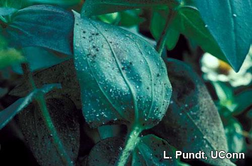 Whiteflies – Greenhouse whiteflies on zinnia