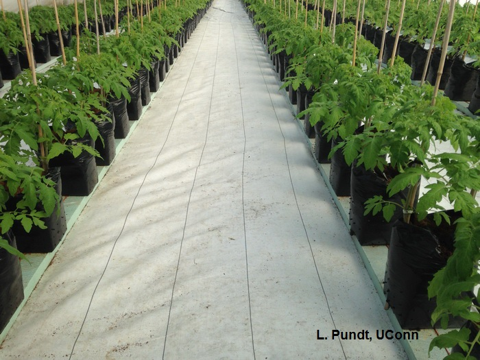 Using white reflective plastic mulch to maximize light in greenhouse tomatoes