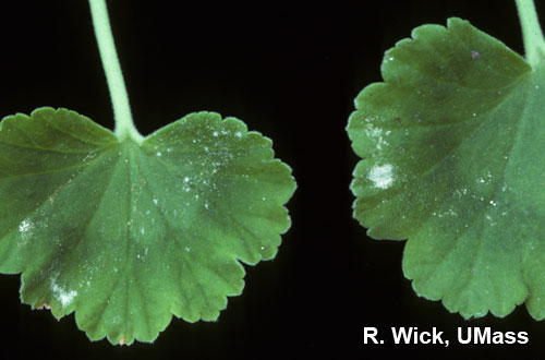 Powdery mildew on geranium