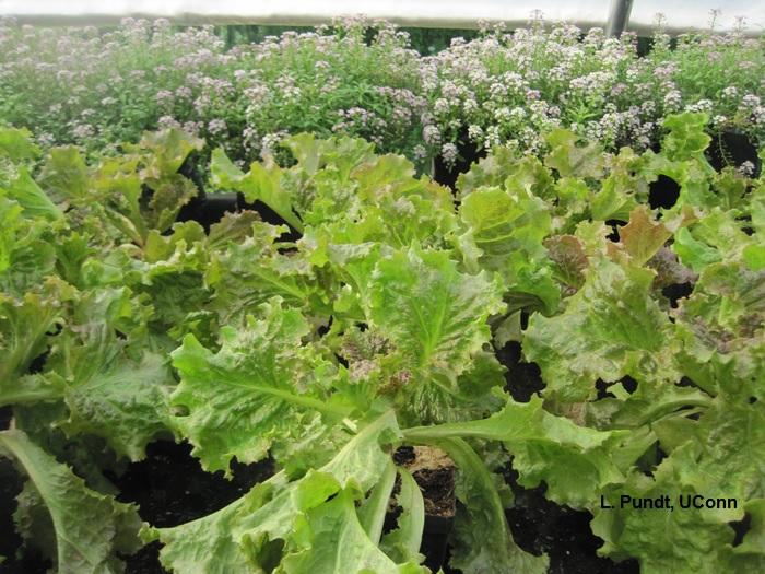 Guardian plant for lettuce