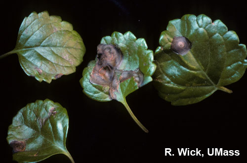 Swedish Ivy – Impatiens Necrotic Spot Virus (INSV)