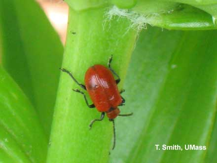 Lily leaf beetle adult on Asiatic lily