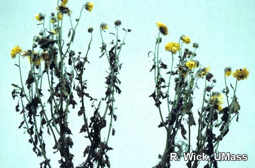 Chrysanthemum – Foliar nematodes (Aphelenchoides species)