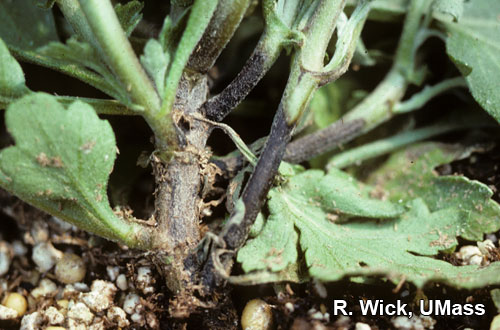 Chrysanthemum – Pythium stem rot